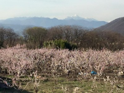 Apricot Blossoms along the Chikuma River with snow-covered Mt. Takatsuma in the background
