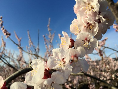 Apricot Blossoms in Togura-Kamiyamada Onsen, 2015.4.02