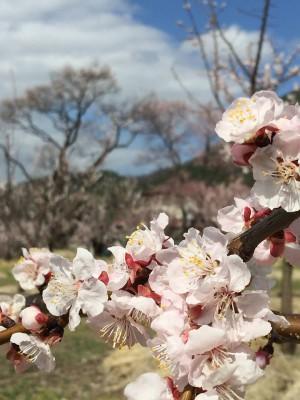 森「あんずの里」の花が満開 2015.4.03