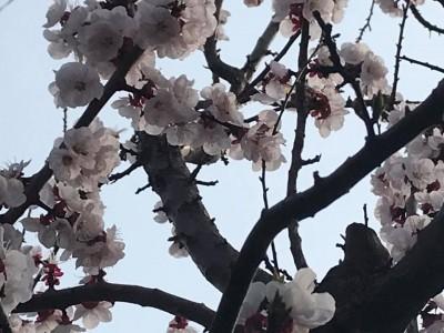 anzu anzu blossoms