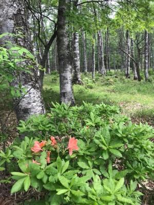 Utsukushigahara birch azalea