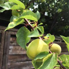 甘酸っぱい!採りたての杏を食べたみては?Tart! Taste a fresh-picked apricot!