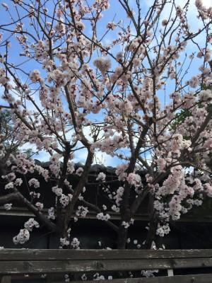 あんずの花 満開 亀清旅館客室「千歳」 2015.4.01