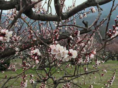 森「あんずの里」 杏の花が咲き始まった 2015.4.01