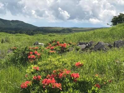 Utsukushigahara azalea